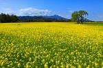 菜の花が一面に広がる美しい景色。 初めてこの風景を見た時、楽園に思えた・・・