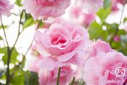 雨上がりの朝のバラ