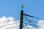 電柱の上でスタイリッシュに仁王立ちするサギ。