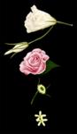 花の素材です。 第二弾は薔薇を描きました。  ブーケを描くときついでに作った素材なので、小さな花なども含まれています。